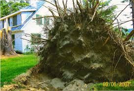 pine tree root