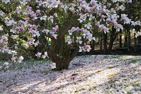 magnolia bushes