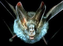 false vampire bat