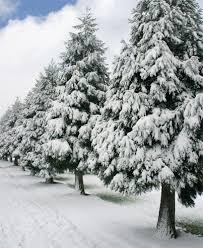 درختان کاج در زمستان