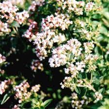 marjoram plant