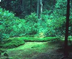 creeping thyme lawn