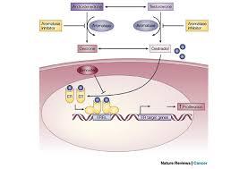 oestrogen receptor