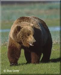 bears brown