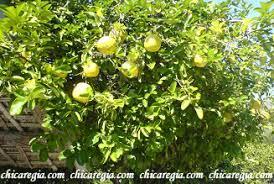 planta de limon