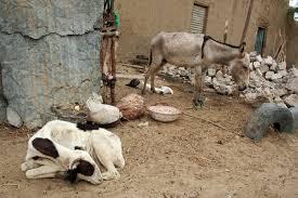 goat donkey