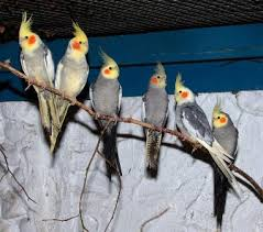 aves ninfas