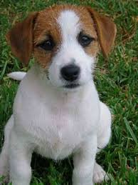 jack russell dog photos