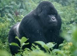 eastern gorillas