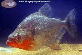 black diamond piranha