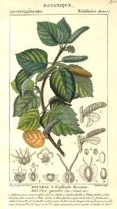 betula pumila