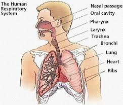 respiration in human