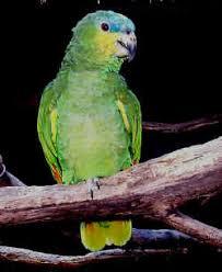 orange wing amazon parrots