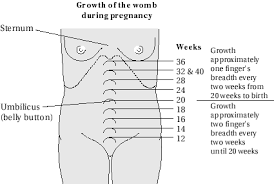 babies growth in the womb