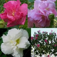confederate rose plant