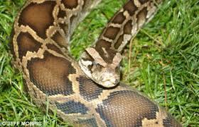 largest snake alive