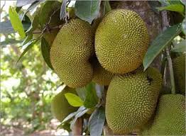 fruit of brazil