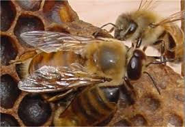 honeybee drone