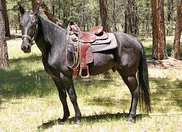black horses for sale