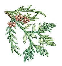 inland red cedar