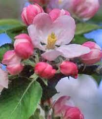 arkansas state flower