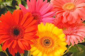 gerbera daisy wallpaper