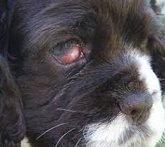 cherry eye canine