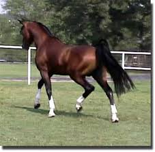 arabian mares for sale