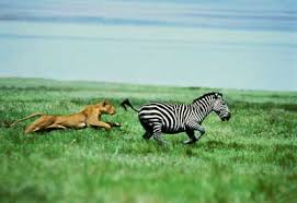 lion eats zebra