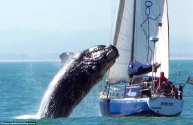 Yacht crushed by whale back on the water