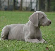 dog breeds weimaraner
