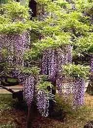 chinese wisteria tree