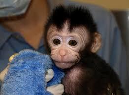 cyno monkey