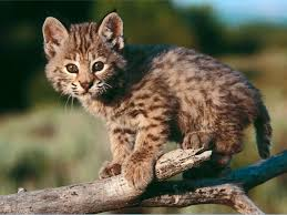 pictures of baby bobcats
