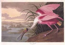 audubon artwork