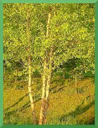 heritage river birch tree