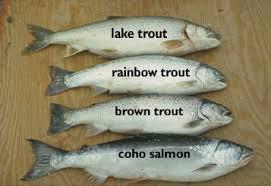 salmons fish