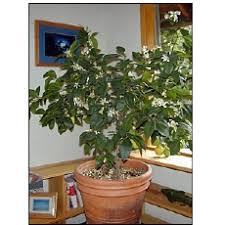 indoor lemon trees