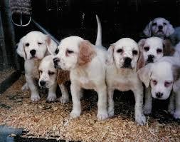 setter puppies