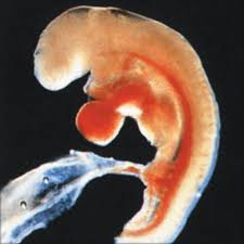 embryo at four weeks