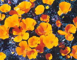 native california plants