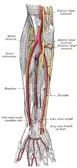 radial recurrent artery