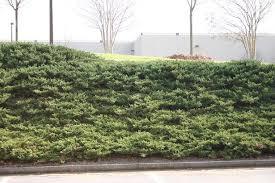 juniper ground covers