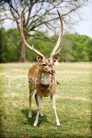 crazy deer pictures