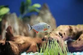 red belly piranha tank