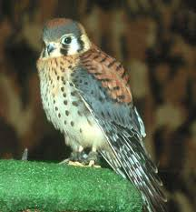 picture of sparrow hawk