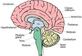 brain stem pictures