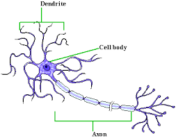 motor neuron picture