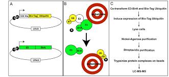 mammalian tissue culture