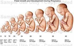 pregnancy development